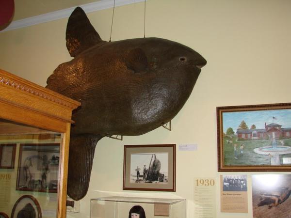 Papier-mache model of an ocean sunfish, on exhibit a museum.