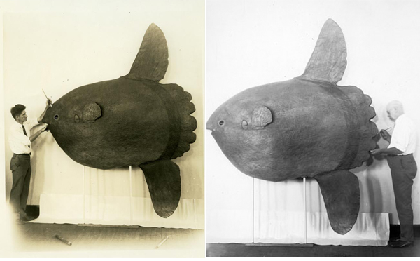 Men painting the model of a sunfish