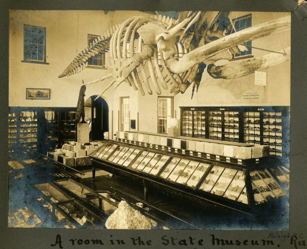 Right whale skeleton on exhibit in Museum