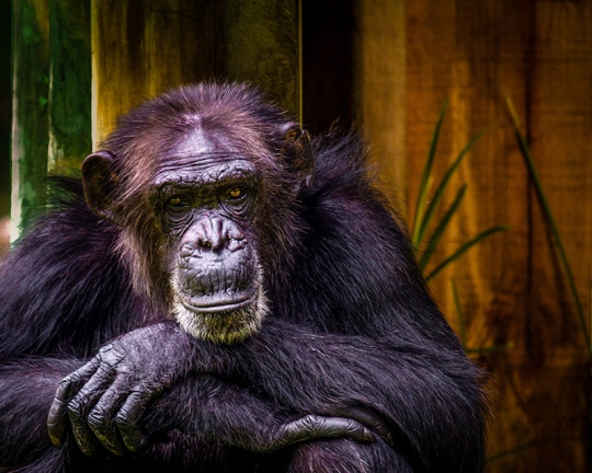 Older Chimpanzee, Busch Gardens, Tampa. Image taken by Kevin Case, Kevdiaphoto on Flickr.com.