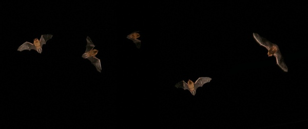 Flying Bats, Image via Flickr.com, by Stuart Anthony.