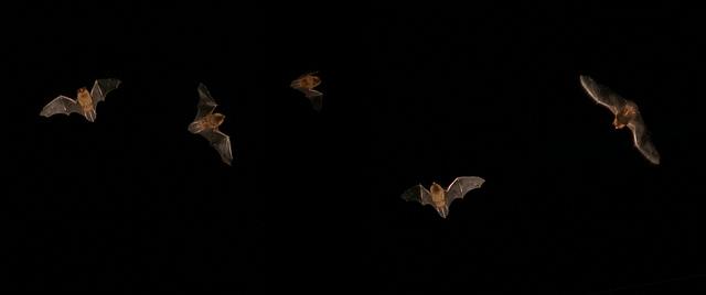 Image result for south carolina bats in flight