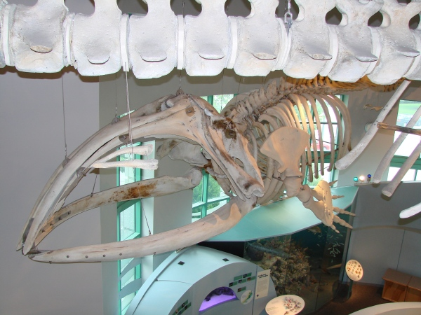 articulated skeleton of right whale hangs in Coastal North Carolina hall