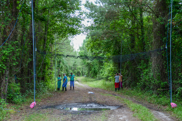 Lisa Gatens and other Museum staff and volunteers set up a bat mist net in Hofmann Forest. Photo by Paige Brown, (C) Paige's Photography, http://paigesphotos.photoshelter.com/.