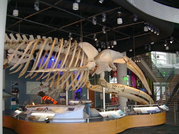 Right whale skeleton, Stumpy, on exhibit in Museum