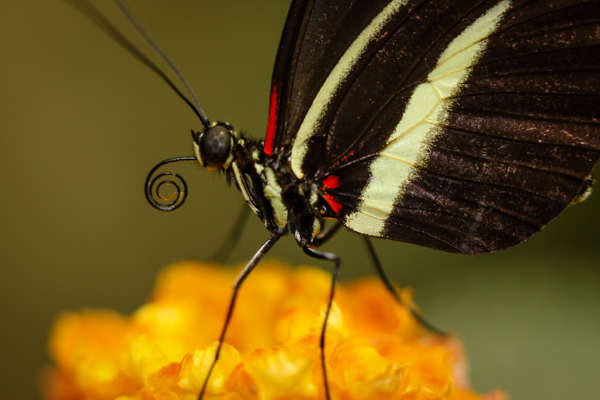 An image taken in the Museum's butterfly room, of Heliconius cydno, a nymphalid butterfly from Mexico and South America.