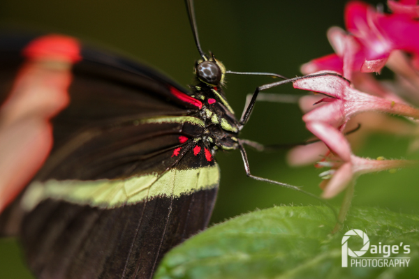 Postman, or Heliconius melpomene, extending its proboscis to sip nectar from a flower. Image by Paige Brown. (C) Paige's Photography.