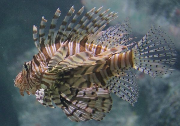 Lionfish in the 10,000 gallon aquarium in the NRC