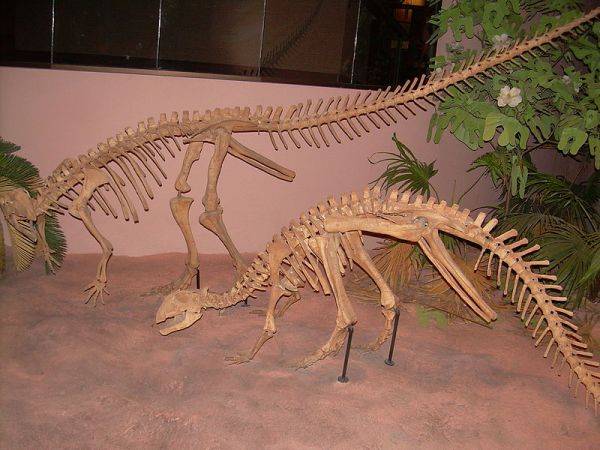 This specimen at the North American Museum of Ancient Life features an incorrect skull on a body skeleton of T. neglectus.