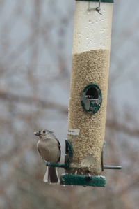 Tutfted Titmouse