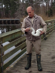 Researcher holding Great Egret