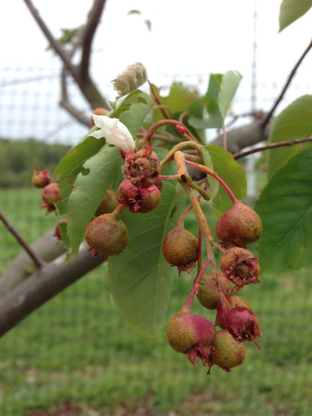 Serviceberry berries