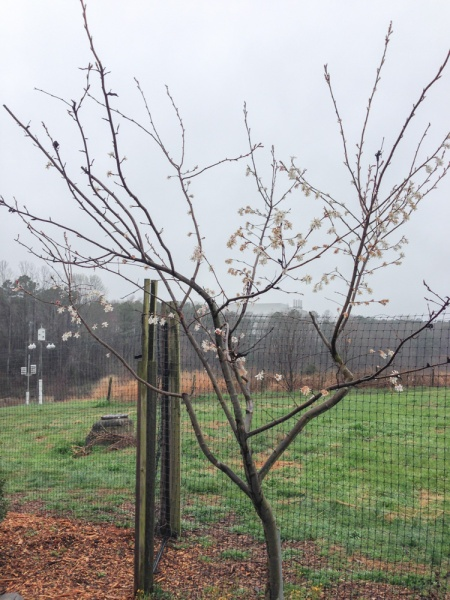 Serviceberry blooming