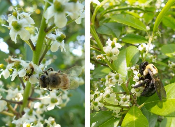 Bees feeding on holly nectar