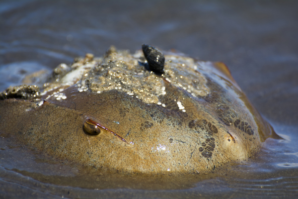 A solitary Horseshoe Crab.