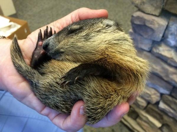 Groundhog asleep