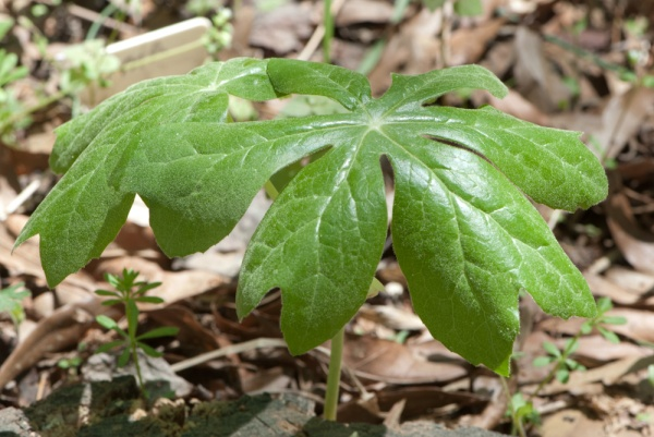 Fertile Mayapple plant