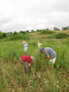 Volunteers in the field monitoring milkweed for MLMP