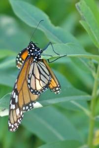 Monarch laying eggs on Common Milkweed
