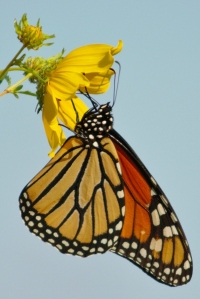 Monarch adult on flower