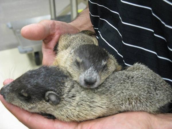 Pair of Groundhogs
