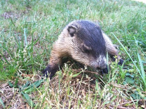Wandering baby groundhog