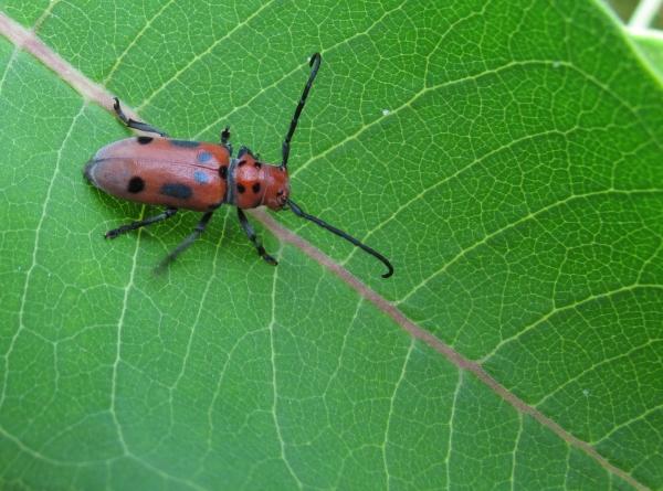 Red milkweed beetle on milkweed