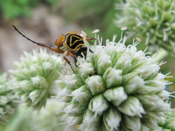 Delta flower scarab beetle