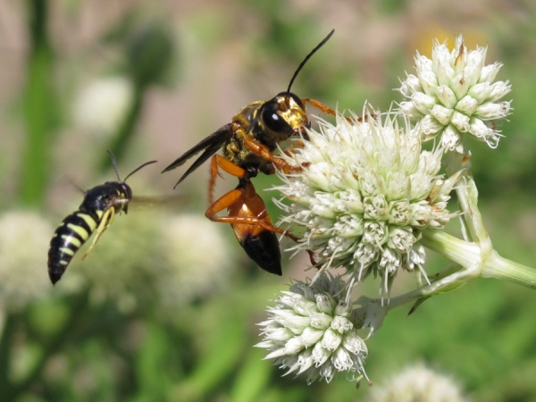 Great golden digger wasp with sand wasp in background