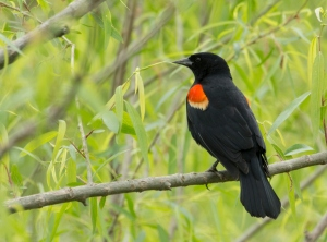 Redwing Blackbird male