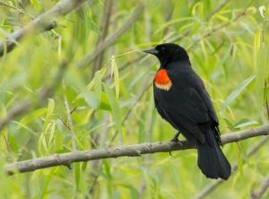 Redwing Blackbird male