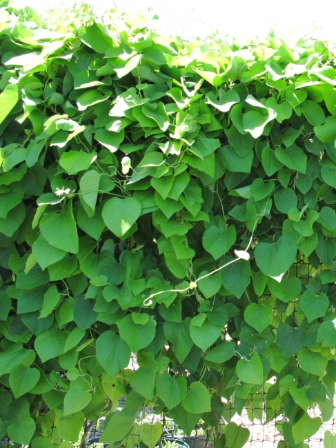 Woolly Pipevine Plant