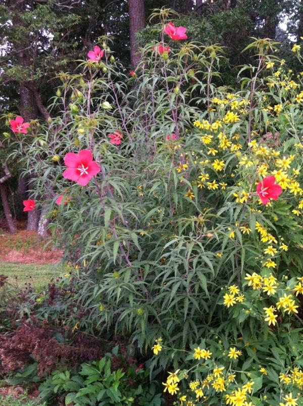 Scarlet hibiscus plant
