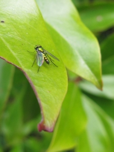 Long legged fly