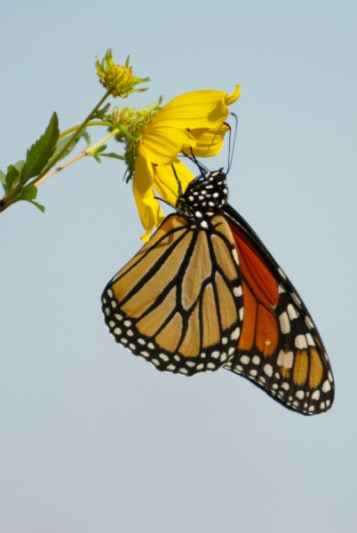 Monarch adult
