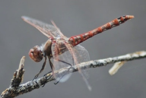variegated meadowhawk dragonfly