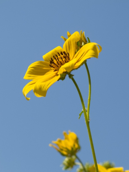 tickseed sunflower