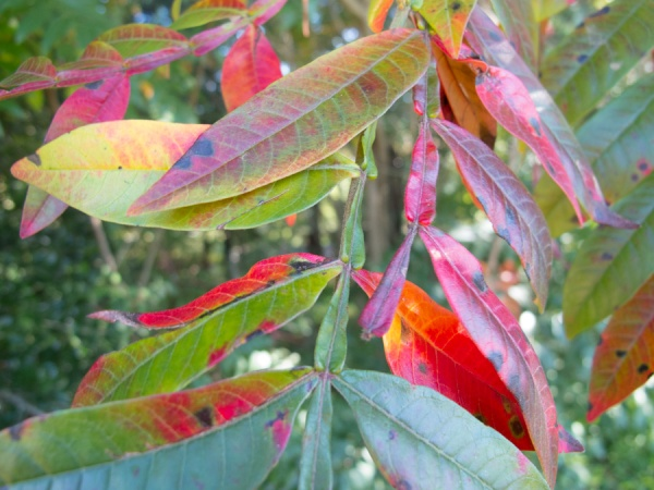 Winged sumac turning red