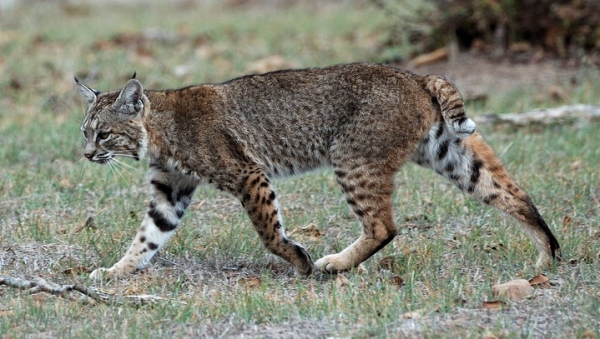 Bobcat in day by Don DeBold via Wikipedia