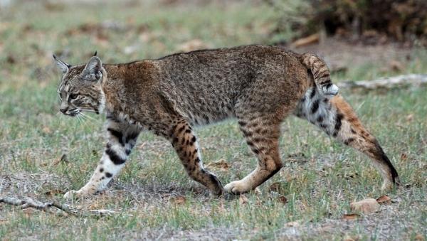 Bobcat in day by Don DeBold via Wikipedia