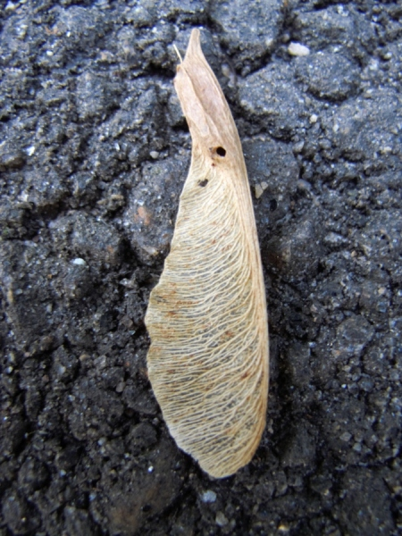 Box elder seed