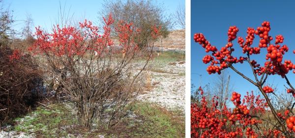 Winterberry shrub and closeup of berries