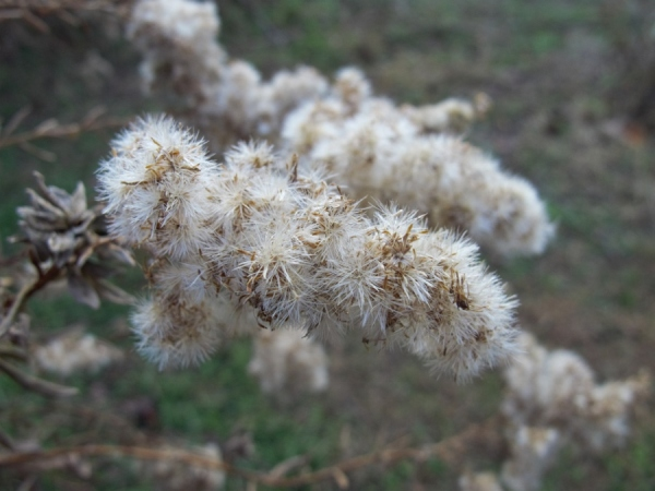 Goldenrod seeds