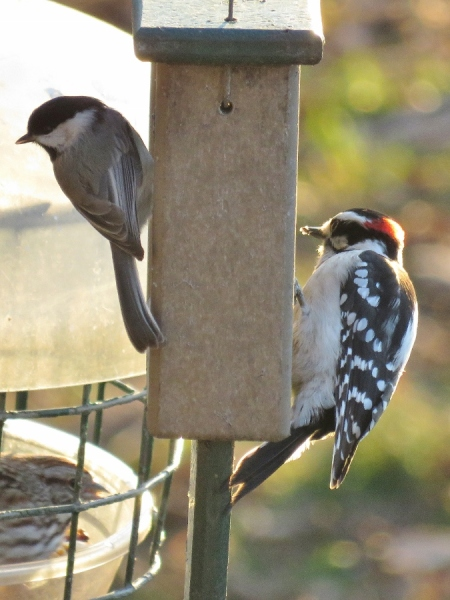Chickadee and downy woodpecker