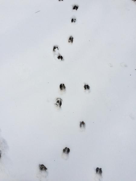 deer tracks