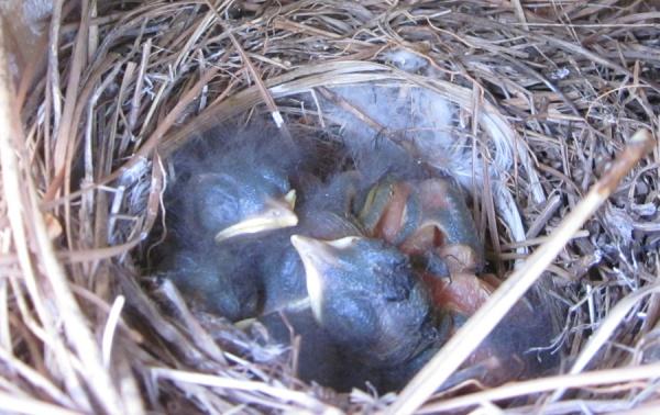 Carolina chickadee chicks