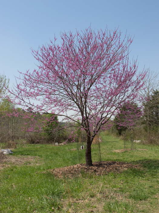 Eastern Redbud What Time Is It In Nature Nc Museum Of Natural