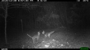 eMammal Grey foxes