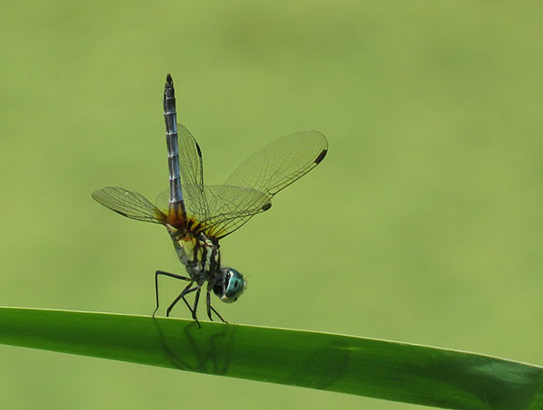 blue dasher obelisking