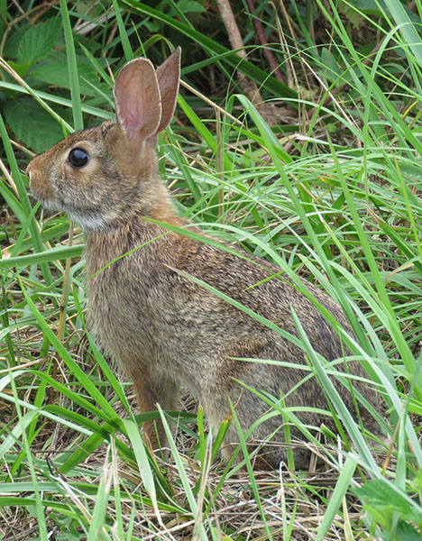 eastern cottontail ears